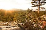 Lodgepole Pine (Pinus contorta) forest in sub-alpine zone at sunset, Ansel Adams Wilderness, Sierra Nevada, California