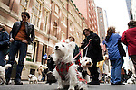 Saturday, April 14,  2007, New York, New York.. The 9th annual Tartan Day Parade was held today on 6th Avenue between 44th and 58th Streets.. Thousands turned out to play the drums, pipes and to view all those dressed for the occasion.. Missy Paulette, owned by Monica McLaughlin of NYC, came out for the parade.