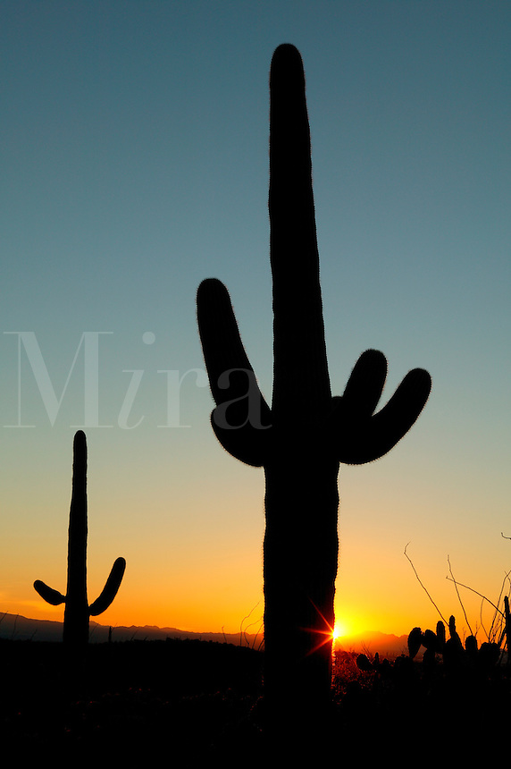 Sunset at Saguaro National Park (Saguaro East), near Tucson, Arizona.