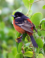 Adult male orchard oriole in cold spring migration