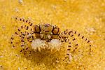 Mosaic Boxer Crab , Lydia tesselata