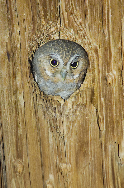 Elf Owl, Micrathene whitneyi, adult in nest hole in telephone post, Madera Canyon, Arizona, USA