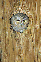 Elf Owl, Micrathene whitneyi, adult in nest hole in telephone post, Madera Canyon, Arizona, USA