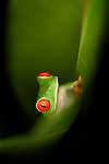 Male Red-eyed Tree Frog (Agalychnis callidryas) - Caribbean slope race (blue flanks) inside a curled leaf. Mid-altitude rainforest near Aranal, central Costa Rica.