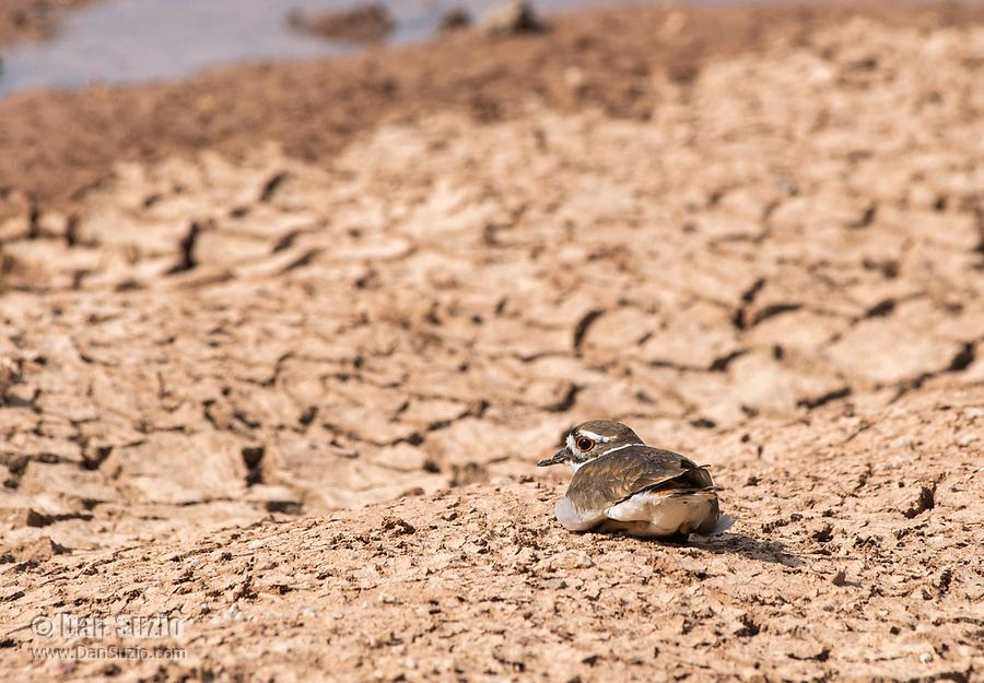A Killdeer, Charadrius vociferus, rests on the shore of a lake in the Riparian Preserve at Water Ranch, Gilbert, Arizona