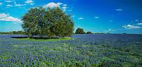 Live Oak tree and Texas Bluebonnet, Lupinus texensis, Natalia, Medina County,Texas, USA