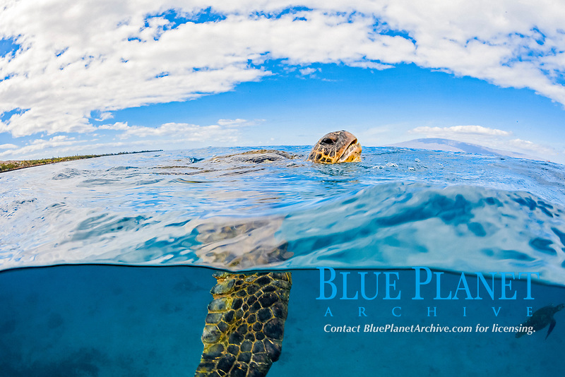 green sea turtle, Chelonia mydas, breathing, Maui, Hawaii, USA, Pacific Ocean