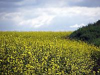 Canola fields just west of Edmonton.