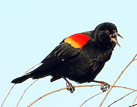 Male red-winged blackbird calling and displaying