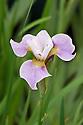 Iris sibtosa 'Princess'. Sometimes also Iris 'Sibtosa Princess'. Cross between Siberian Iris sibirica and Iris setosa.