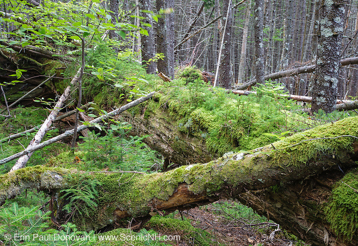 Nurse log in a softwood forest of the White Mountains of New Hampshire USA
