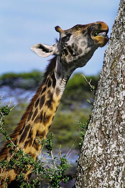 Masai Giraffes (Giraffa camelopardalis).  Serengeti National Park.