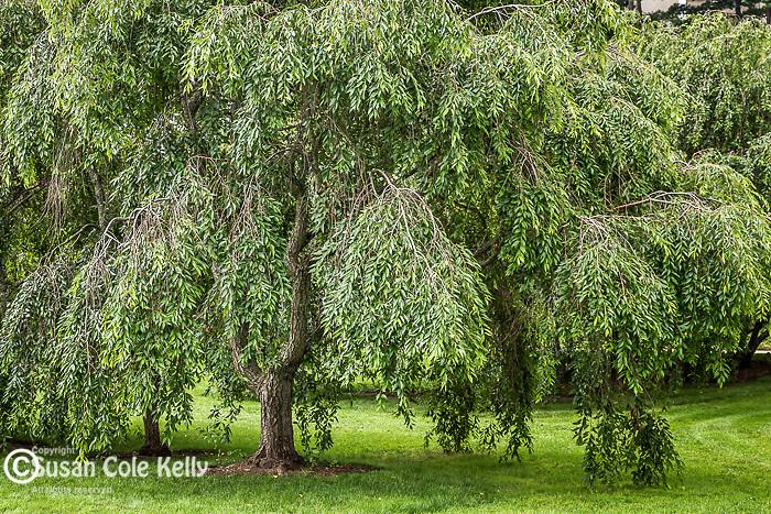 Sargent Cherry trees at the Arnold Arboretum in Jamaica Plain, Boston, Massachusetts, USA