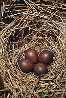 Baumpieper, Ei, Eier, Gelege im Nest, Baum-Pieper, Anthus trivialis, tree pipit
