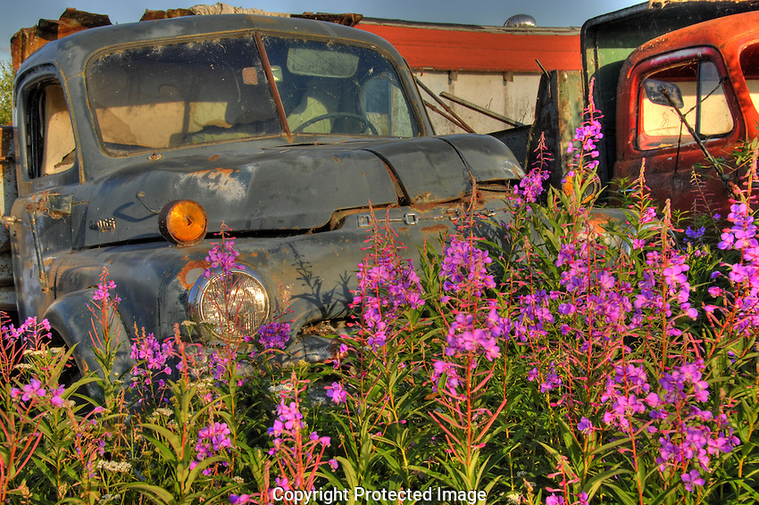 Fireweed and old truck in Yellowknife's Old Town
