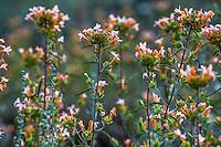Collomia grandiflora - Large-Flowered Collomia, flowering annual wildflower in Martin's Meadow Eldorado National Forest