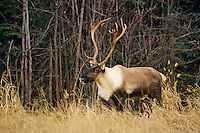 Woodland or Mountain Caribou bull.  Late Fall, Northern B.C.