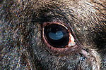 Close-up of bull moose eye.