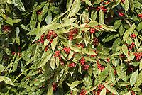 Aucuba japonica 'Variegata' in red berries