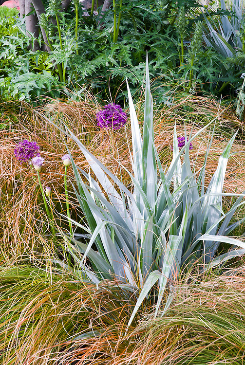 Astelia with Allium and ornamental grass, with Acanthus in the background for a pretty combination of plants, shape and textures in the garden