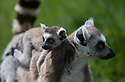 """16/05/16<br /> <br /> """"I love my mum""""<br /> <br /> Three baby ring-tail lemurs began climbing lessons for the first time today. The four-week-old babies, born days apart from one another, were reluctant to leave their mothers' backs to start with but after encouragement from their doting parents they were soon scaling rocks and trees in their enclosure. One of the youngsters even swung from a branch one-handed, at Peak Wildlife Park in the Staffordshire Peak District. The lesson was brief and the adorable babies soon returned to their mums for snacks and cuddles in the sunshine.<br /> All Rights Reserved F Stop Press Ltd +44 (0)1335 418365"""