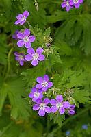 Wiesen-Storchschnabel, Wiesenstorchschnabel, Storchschnabel, Geranium pratense, Meadow Cran´s Bill