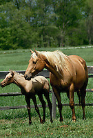 Thoroughbred mare and foal stand in paddock on lovely summer day,  Midwest USA