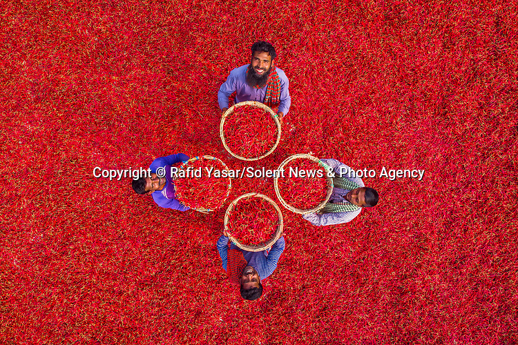 "Rows of workers shelter under umbrellas from the blistering heat as they painstakingly sort through a sea of bright red chili peppers on a farm in Bogra, Bangladesh.<br /> <br /> The striking images were taken by university student Rafid Yasar, 25.<br /> <br /> Rafid said, ""The daytime temperature are currently mid-thirty degrees Celcius.  The workers are sorting through the chillis to separate the poor quality ones which won't sell.""<br /> <br /> ""They earn less than £2 a day for a full nine hours in the boiling heat.""<br /> <br /> Please byline: Rafid Yasar/Solent News<br /> <br /> © Rafid Yasar/Solent News & Photo Agency<br /> UK +44 (0) 2380 458800"