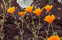 Eschscholzia californica - California Poppy flowering against rock in Regional Parks Botanic Garden, Berkeley, California