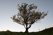 Hawthorn tree in the Snowdonia National Park in North Wales