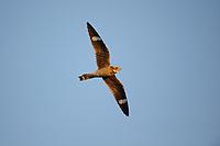 Common Nighthawk (Chordeiles minor) in flight. Grant County, Washington. June.