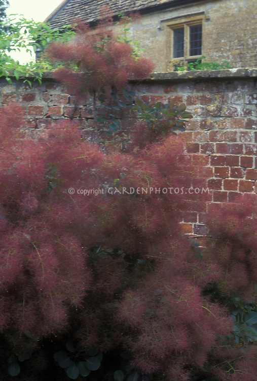 Common Smoke Bush smokebush Cotinus coggygria 'Atropurpurea' in fall with unusual puffy fluffy red purple plumes against brick wall of house
