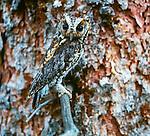 Flammulated owl, Washington