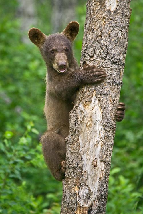 Cinnamon Black Bear cub (Ursus americanus) clinging to a tree near Riding Mountain National Park, Manitoba, Canada