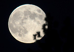 The blue moon rises through pine trees, near Gardnerville, Nev. on Friday, Aug. 31, 2012. .Photo by Cathleen Allison