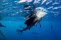 swiping its bill downward and pulling air down from the surface, an Atlantic sailfish, Istiophorus albicans, seizes an individual sardine separated from a bait ball of Spanish sardines, Sardinella aurita, off Yucatan Peninsula, Mexico (Caribbean) #2 in sequence of 4 images