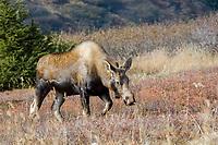 moose or elk, Alces alces, cow, foraging in fall, Alaska, USA