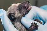 3-4 day old Raccoon is under the care of the Birdsey Cape Wildlife Center in Barnstable, Cape Cod, Massachusetts, medium shot.