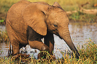 Young african elephant calf (Loxodonta africana) learning to feeding along shore of Lake Kariba.   Matusadona National Park, Zimbabwe.