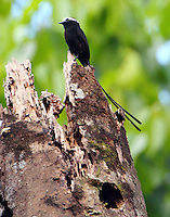 Long-tailed tyrant at nest hole