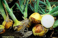 HS16-023x  Onion - storage onions - Sweet Sandwich variety