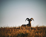 Bighorn Ram at Sunrise. Image taken with a Nikon D700 camera and 80-400 mm VR lens (ISO 200, 400 mm, f/11, 1/500 sec).