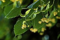 Sommer-Linde, Sommerlinde, Linde, Blüten, Tilia platyphyllos, Large Leaved Lime