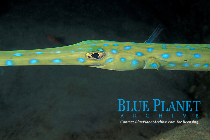 bluespotted cornetfish or cornet fish, Fistularia tabacaria, Commonwealth of Dominica (Caribbean Sea), Atlantic