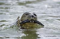 Seehund, mit erbeuteter Makrele, See-Hund, Robbe, Phoca vitulina, harbor seal, common seal