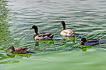 Ducks in a green pond, Irvine CA.