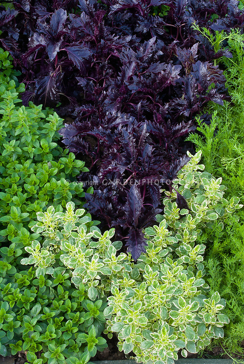 Herb garden, Origanum variegated oregano 'Country Cream' growing next to regular oregano, Perilla frutescens crispa with dark purple - Asian Shiso - foliage leaves, mixture variety