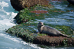 La Jolla Cove, San Diego, California; a Harbor Seal (Phoca vitulina) hauls out on the rocks at low tide to warm itself in the sunshine and rest