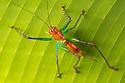 Spiny Predatory Katydid {Listroscelis sp.} Osa Peninsula, Costa Rica. May.