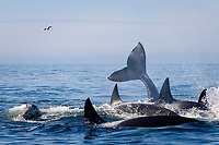 killer whale, Orcinus orca, (transient), killer whale attacking gray whale calf (Eschrichtius robustus), trying to separate calf from Mom who is fending them off with her fluke, Monterey Bay National Marine Sanctuary, California, USA, East Pacific Ocean